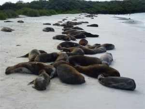Ongestoord rusten er duizenden zeeleeuwen op de talloze ongerepte zandstranden, veelal met hun jongen van enkele maanden oud. Galapagos eilanden zeeleeuwen op strand