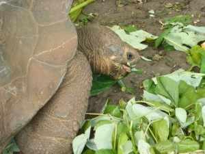 Deze schildpad komt endemisch voor op de Galápagos eilanden en is een van de bekendste soorten schildpadden ter wereld.