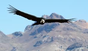 condor download (1)