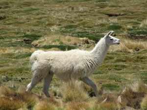 lama 07 Bolivia (133)