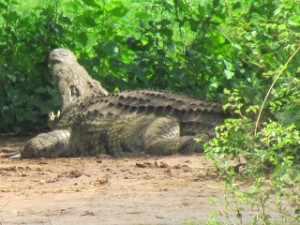 Met een flinke zoomlens is het mogelijk de krokodillen van Sunset Dam in het vizier te krijgen.