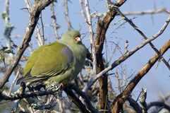 Afrikaanse-groene-duif