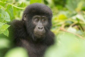 oeganda-bwindi-impenetrable-national-park-gorilla