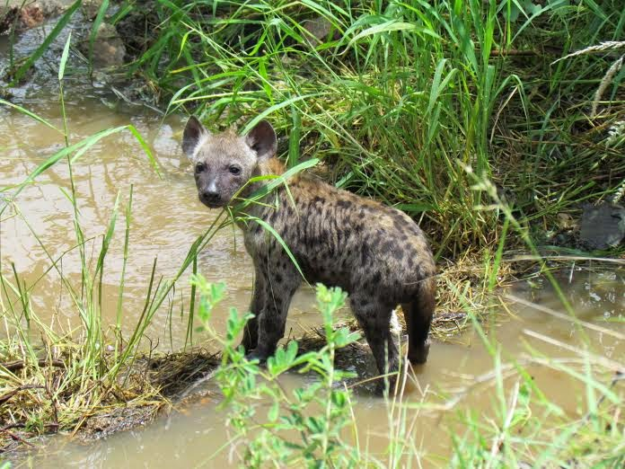 rechtstreekse Krugerberichten - een hyena-pup langs de kant van de weg