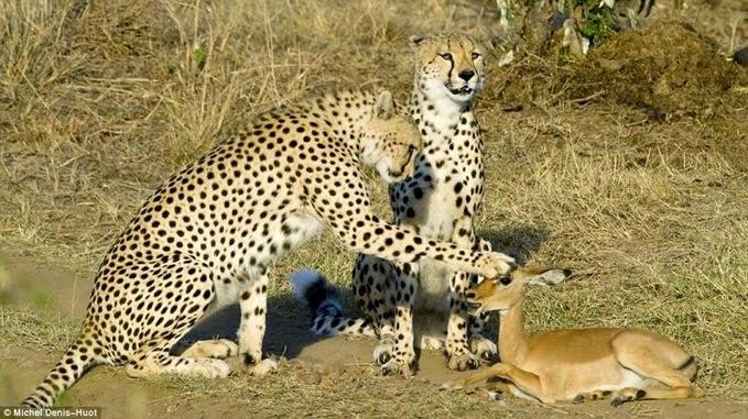 bij de beesten af - Dennis Huot - cheetah's - Kenia