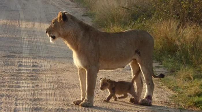 Caring cats Katachtige moeders in de natuur doen dat overigens niet zo draconisch als het lijkt. Katachtige krugerpark Wildlife Leeuwen Kat.