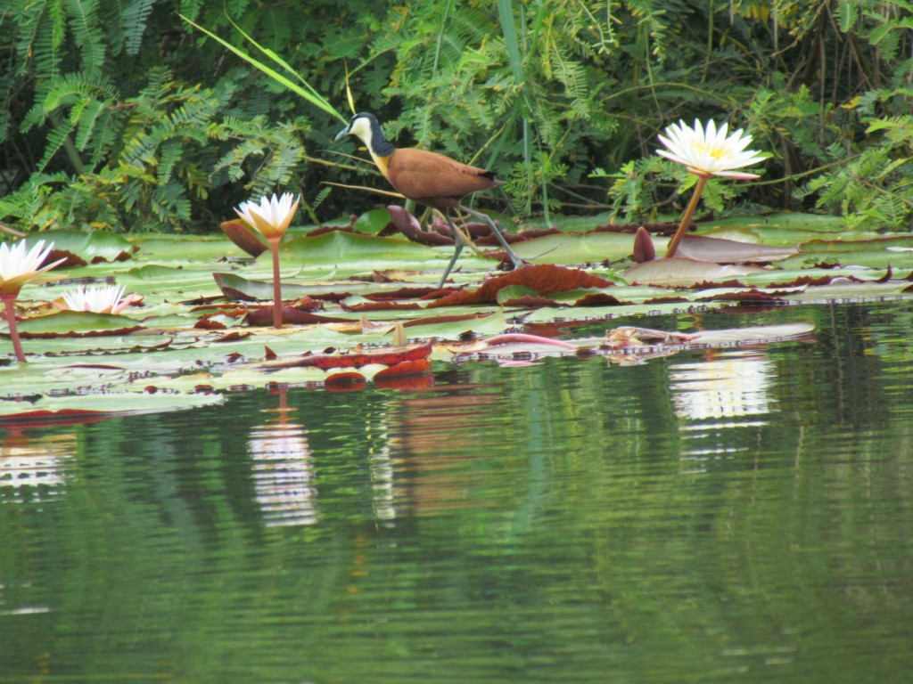 waterlelies in de Chobe river