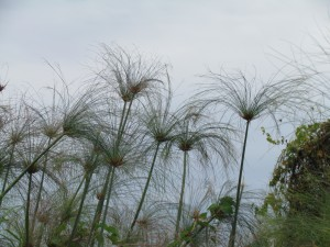 papyrusplanten in de Chobe