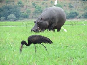 In Krugerpark Big Five wordt naast de olifant, de neushoorn, de panter of luipaard, buffel en de leeuw ook het nijlpaard besproken. nijlpaard aan de Chobe river