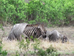 gestroopte neushoorn Krugerpark