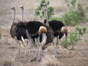 struisvogels Krugerpark