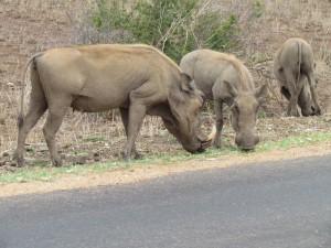 Kamp Mopani Krugerpark Cecil lion leeuwbuffels drinkwatertekort