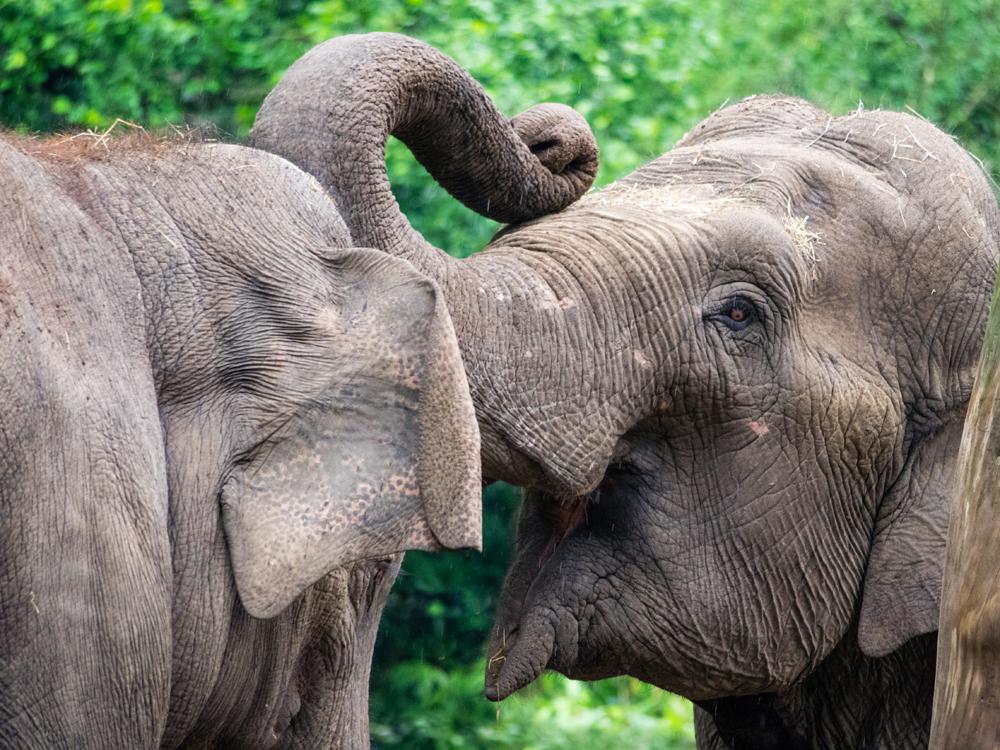 olifanten begroeten elkaar