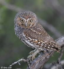 kabouter uil / elf owl