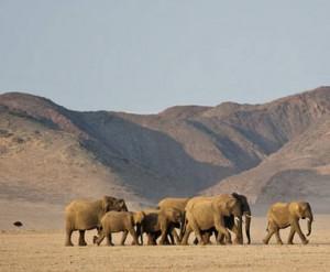 Hoewel woestijnolifanten vier tot vijf dagen zonder water kunnen overleven, zijn ze altijd onderweg. Voortdurend op zoek naar water.
