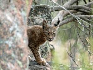 happy new wildlife year - iberische-lynx