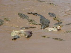 Een grote groep hongerige Krugerpark krokodillen doet zich tegoed aan een nijlpaarden karkas