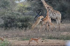giraffe veulen kill