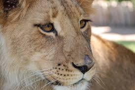 de leeuw is los