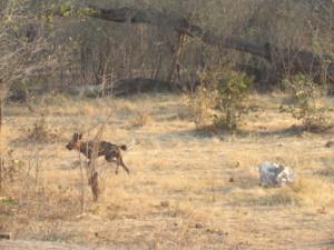 In de protected area rond Hwange National Park in Zimbabwe treffen we wilde honden aan.