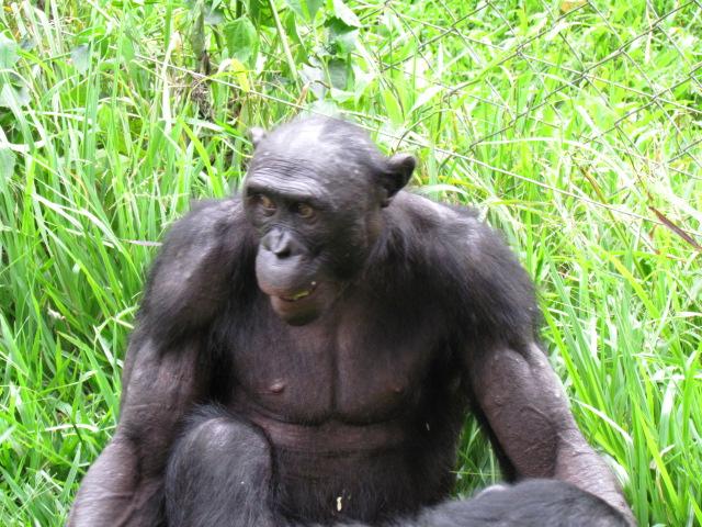De bonobo ontleent zijn naam aan het gebied, waarin hij voor het eerst werd aangetroffen.